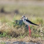 Black winged stilt / Himantopus himantopus