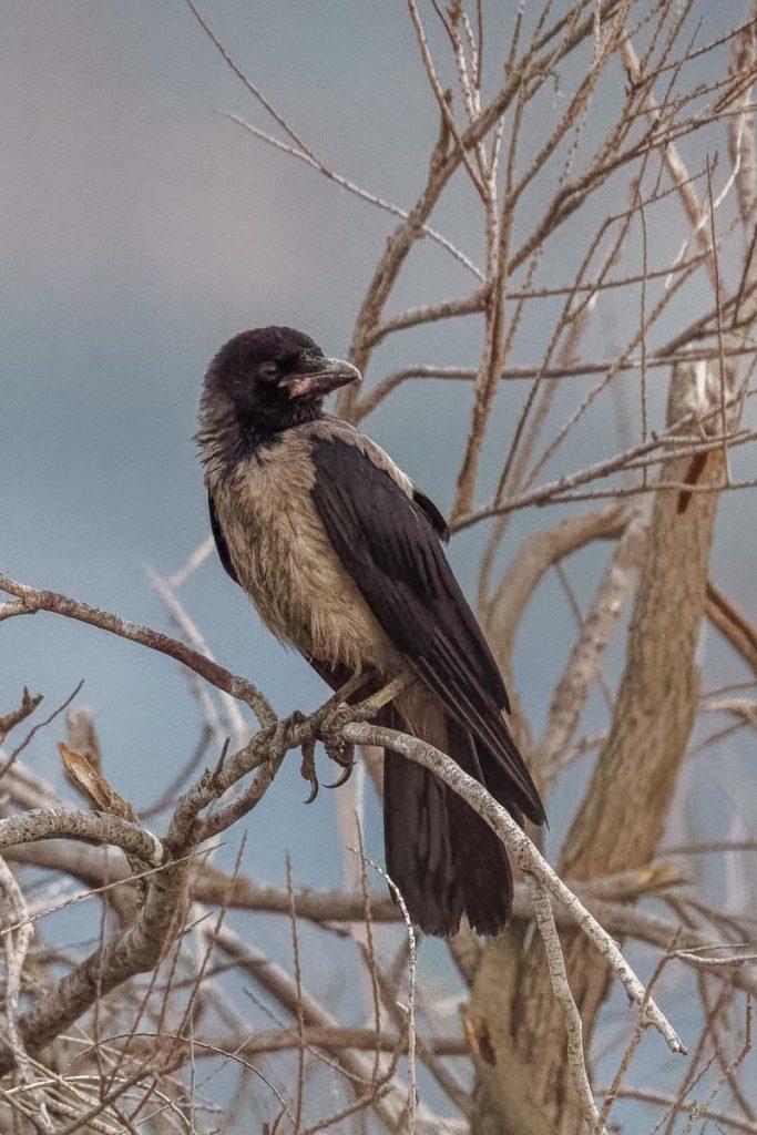 Carrion crow / Corvus cornix