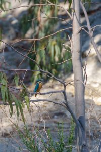 Common Kingfisher / Alcedo atthis