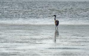 Common crane / Grus grus