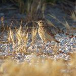 Crested lark / Galerida cristata