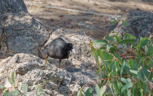 Eurasian coot / Fulica atra