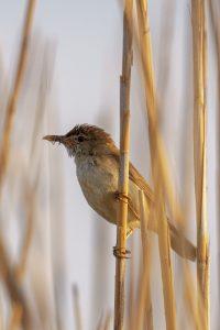 Eurasian reed warbler / Acrocephalus scirpaceus