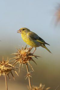 European greenfinch / Chloris chloris