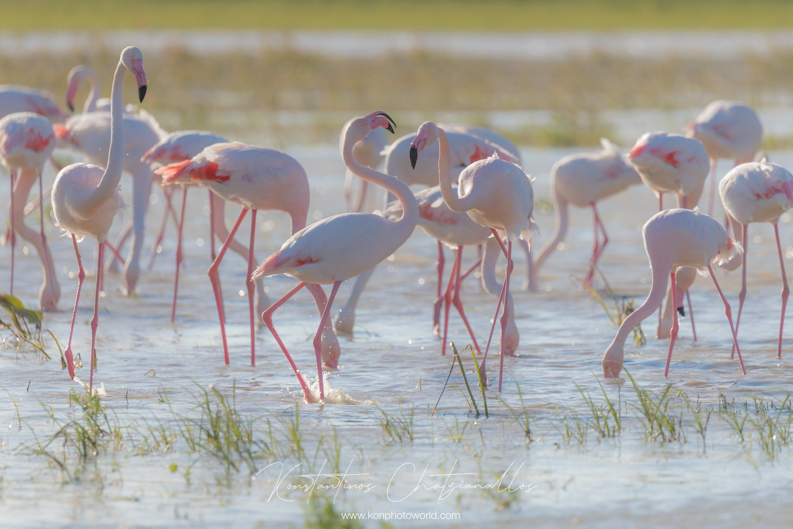 Greater flamingo / Phoenicopterus roseus