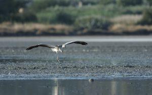 Greater flamingo / Phoenicopterus roseus