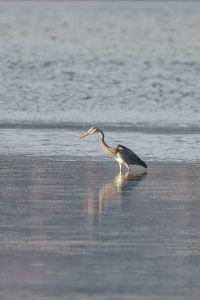 Grey Heron / Ardea cinerea