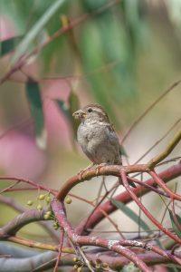 House sparrow / Passer domesticus