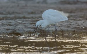 Little egret / Egretta garzetta