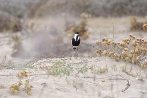 Spur winged lapwing / Vanellus spinosus