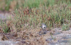 White wagtail / Motacilla alba