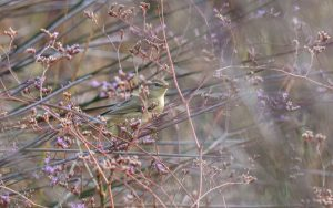 Willow warbler / Phylloscopus trochilus