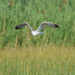 Yellow legged gull / Larus michahellis