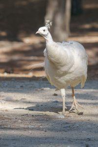 white peafowl / Pavo cristatus mut. alba